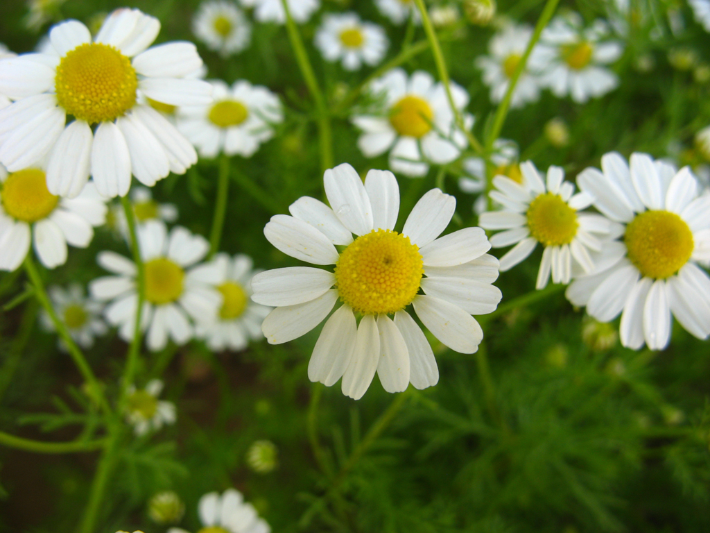 Essential Oil Profile German Chamomile